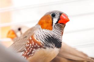 鸣鸟可以通过观察和反复试验获得新的能力