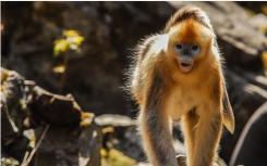 金丝猴进村蹭吃蹭喝