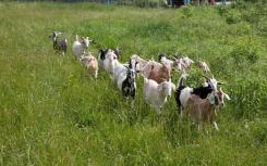 山羊放牧计划通过轻松而有教育意义的社交媒体活动